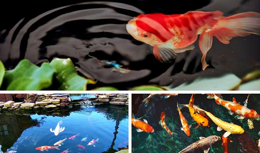 Žuvys dekoratyviniame tvenkinyje